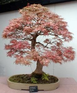 bonsai_federahorn